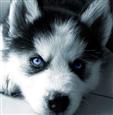 cute-black-husky-puppies-with-blue-eyes-iw7zdu0u
