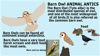1 Barn Owl ANIMAL ANTICS