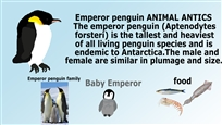 Emperor penguin ANIMAL ANTICS