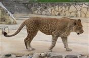 lipard