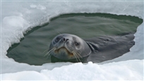 606i_JHiatt_seal_poking_out_ice-hole