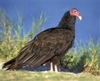 Turkey_Vulture_m17-37-067_l
