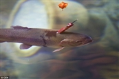 1414074970488_wps_33_Pic_shows_A_fish_with_a_k