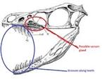 Sinornithosaurus poison fangs
