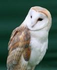 View Barn_Owl_Falconer's Profile