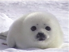 View TheOnlybabyseal's Profile