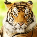 View Tigerlore's Profile