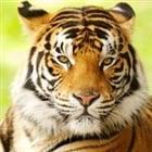 View Tigerlore's Profile