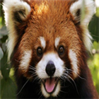 View The_Red_Panda's Profile